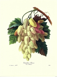 Redoute grapes - Vintage Art Download