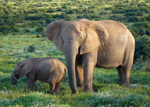 Elephants [Wikimedia]