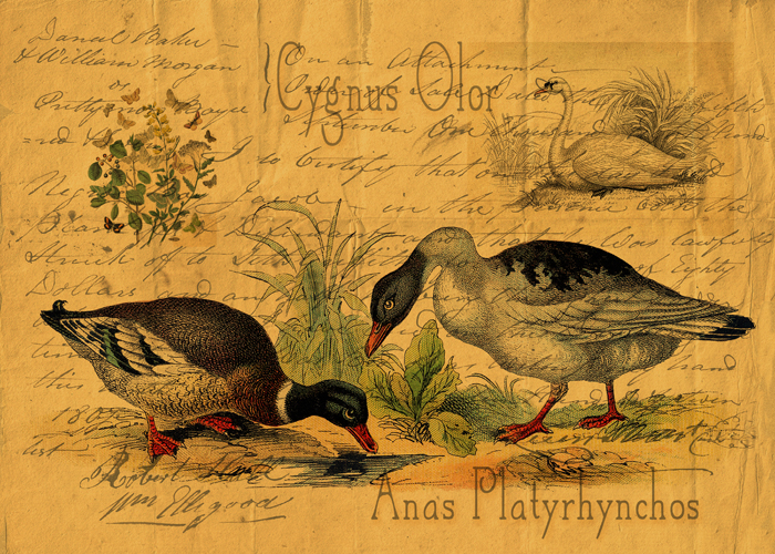 Mallards and Swan Collage © First Night Design