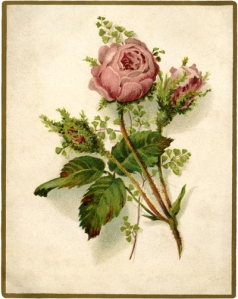 Vintage-Moss-Rose-Image-GraphicsFairy