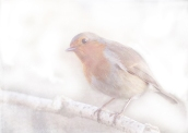 Stay, little cheerful Robin! © Sarah Vernon