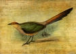 The Cuckoo Calls © Sarah Vernon