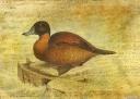 Ruddy Duck © Sarah Vernon