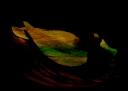 Diomedea © Sarah Vernon